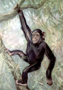 Chimpanzee clipart #2, Download drawings