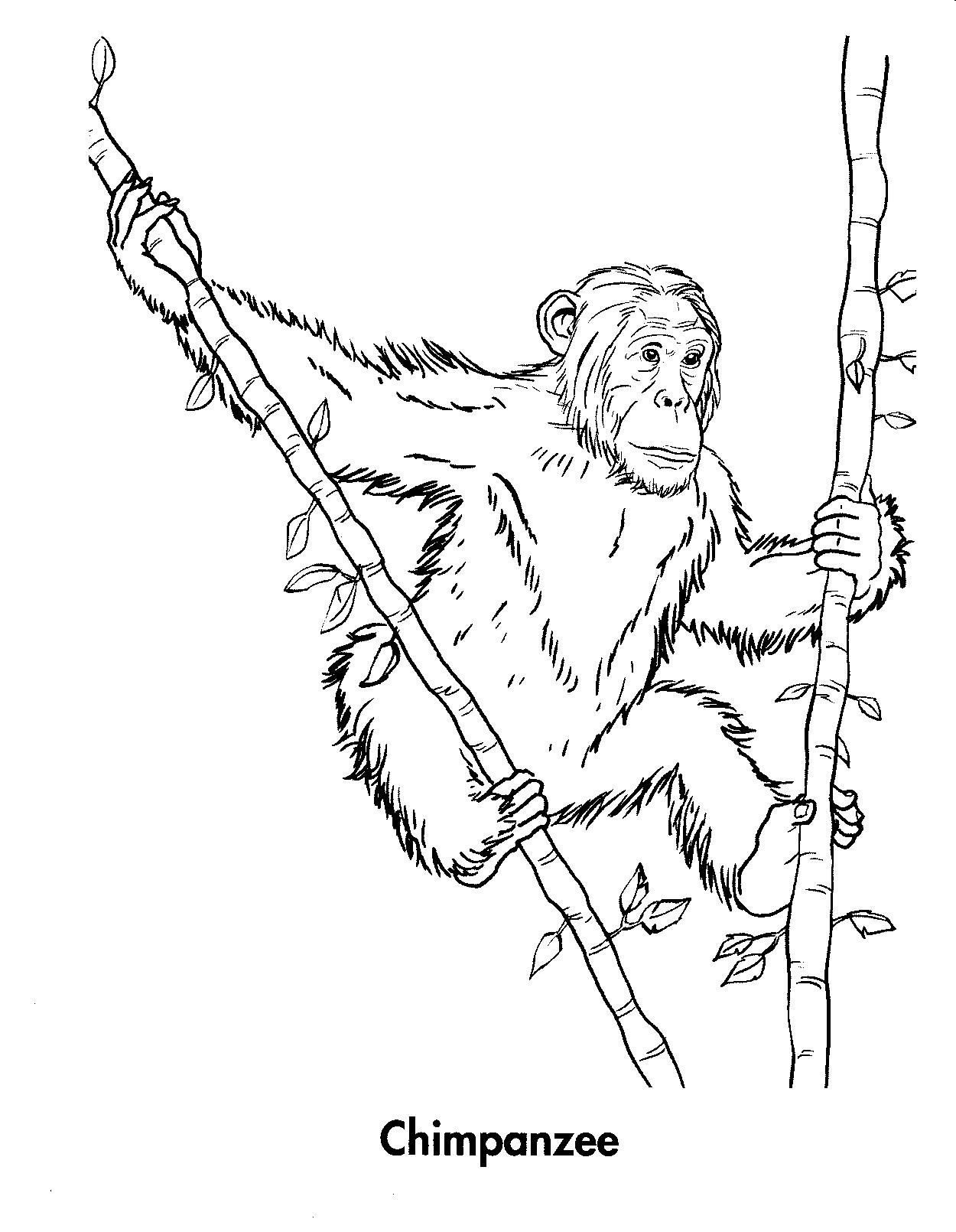 Chimpanzee coloring #18, Download drawings