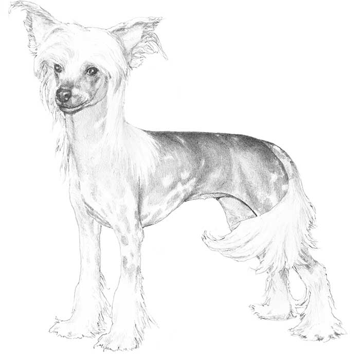 Chinese Crested Dog coloring #5, Download drawings