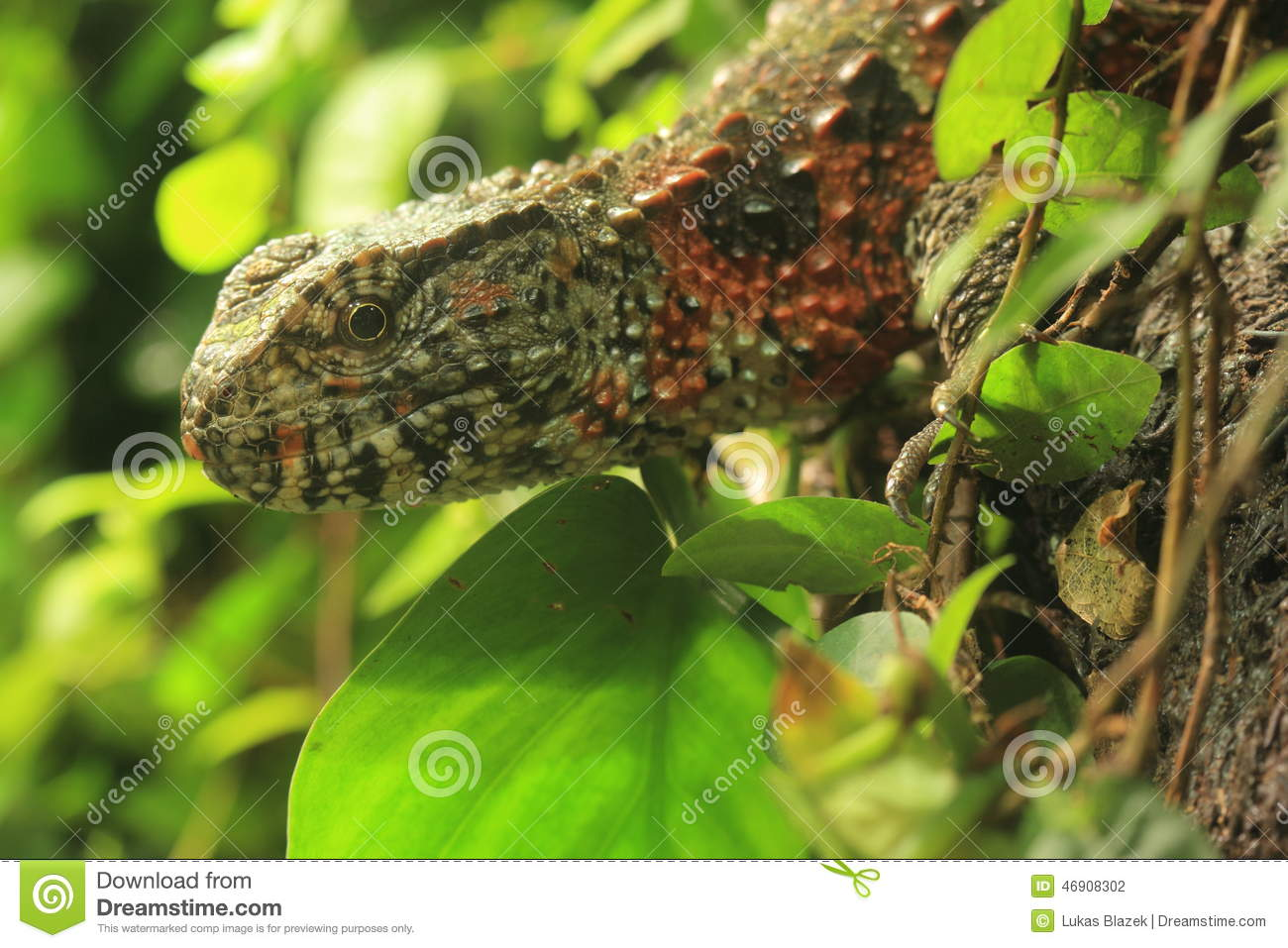 Chinese Crocodile Lizard clipart #18, Download drawings