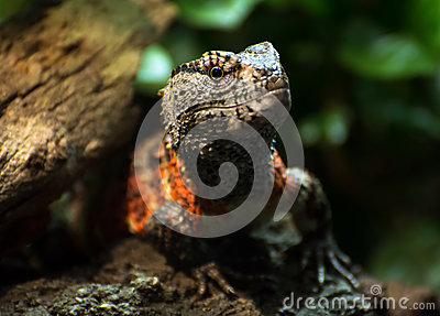 Chinese Crocodile Lizard clipart #15, Download drawings