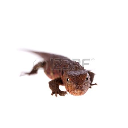 Chinese Crocodile Lizard clipart #1, Download drawings