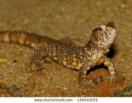 Chinese Crocodile Lizard clipart #16, Download drawings