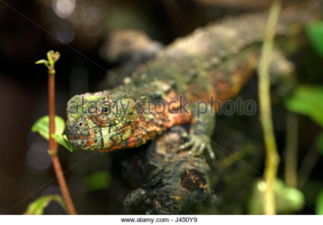 Chinese Crocodile Lizard coloring #13, Download drawings