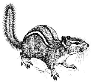 Chipmunk clipart #17, Download drawings