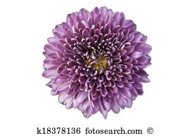 Chrysanthemum clipart #15, Download drawings
