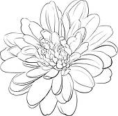 Chrysanthemum clipart #13, Download drawings