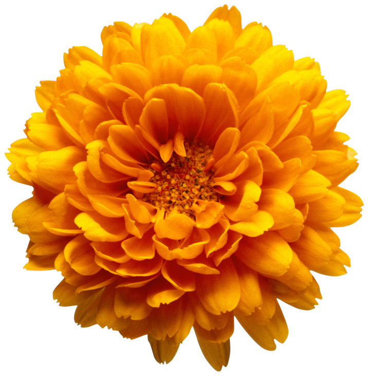 Chrysanthemum clipart #2, Download drawings