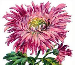 Chrysanthemum clipart #18, Download drawings