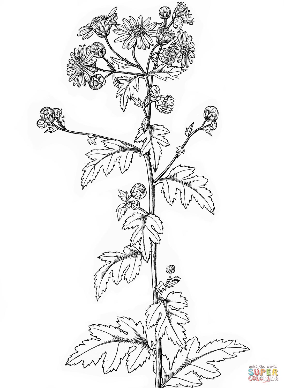 Chrysanthemum coloring #3, Download drawings