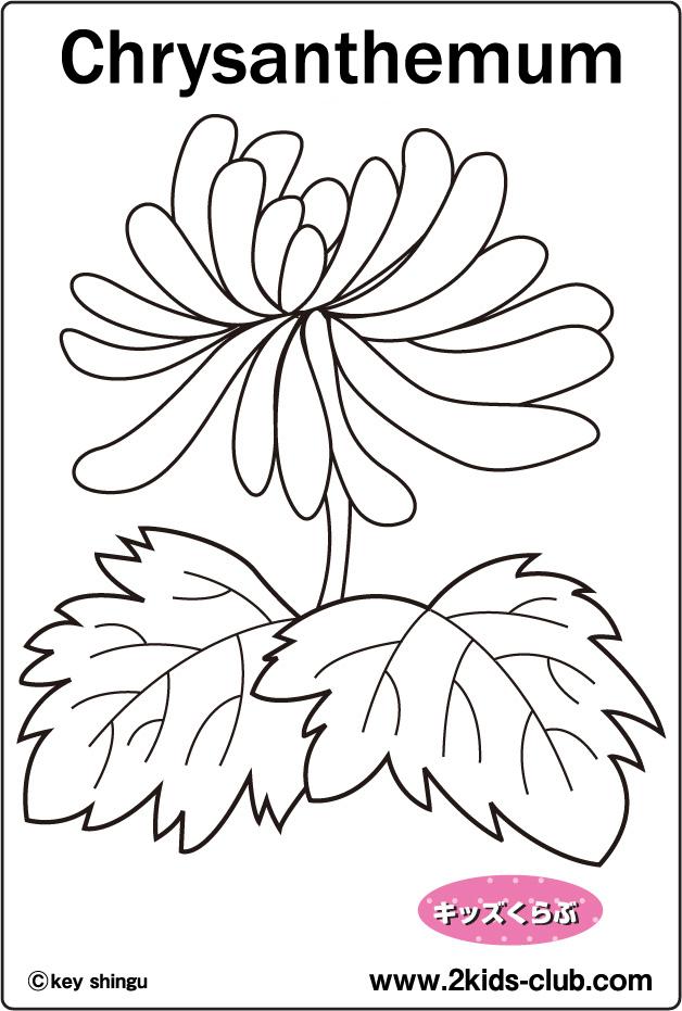 Chrysanthemum coloring #18, Download drawings
