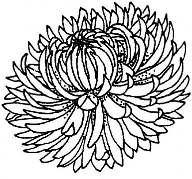 Chrysanthemum coloring #11, Download drawings