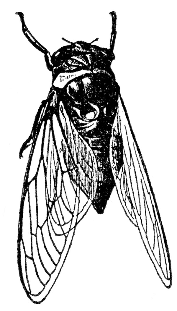 Cicada coloring #19, Download drawings