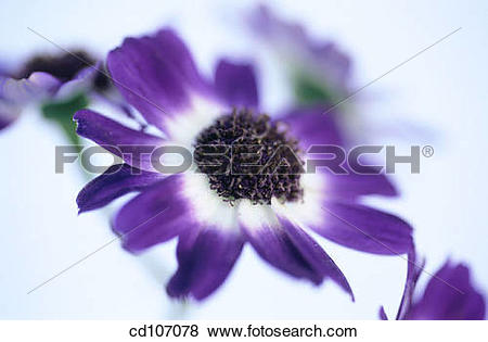 Cineraria clipart #11, Download drawings