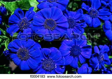 Cineraria clipart #9, Download drawings