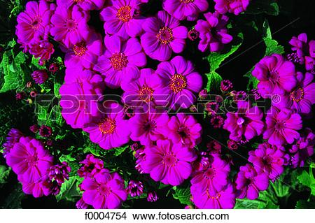 Cineraria clipart #5, Download drawings