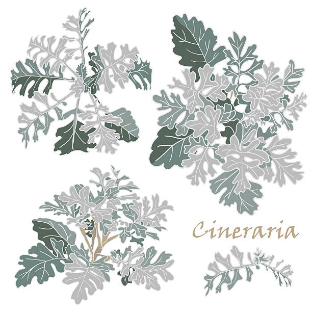 Cineraria clipart #18, Download drawings