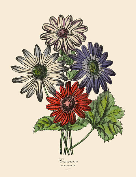 Cineraria clipart #17, Download drawings