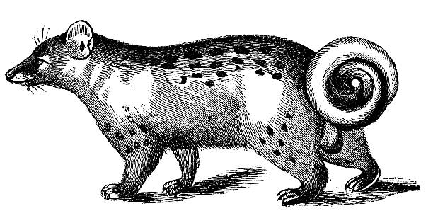 Civet clipart #17, Download drawings