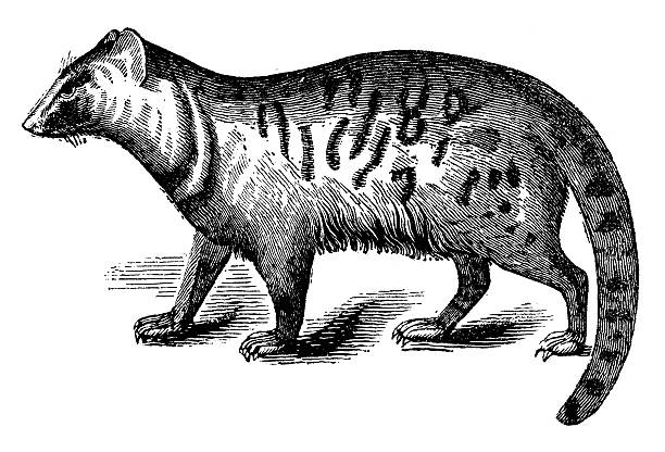 Civet clipart #13, Download drawings