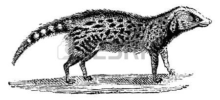 Civet clipart #5, Download drawings