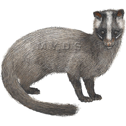 Civet clipart #1, Download drawings