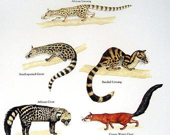 Civet coloring #10, Download drawings