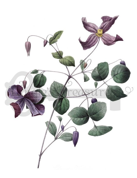 Clematis clipart #3, Download drawings