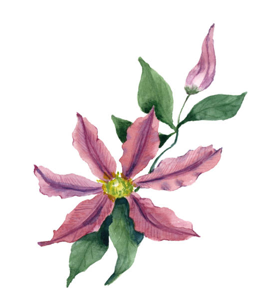 Clematis clipart #13, Download drawings