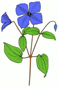 Clematis clipart #6, Download drawings
