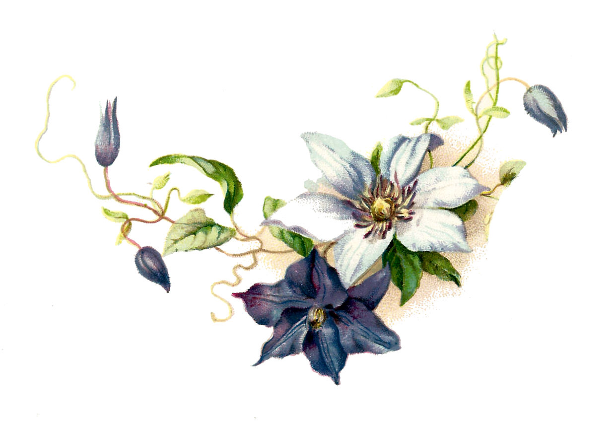 Clematis clipart #1, Download drawings