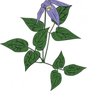 Clematis clipart #2, Download drawings