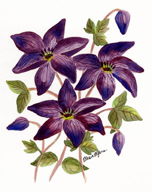 Clematis clipart #19, Download drawings
