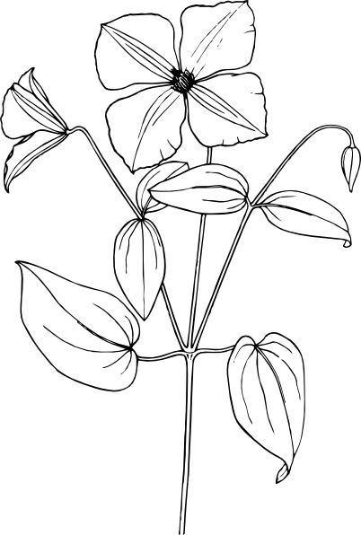 Clematis clipart #15, Download drawings