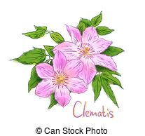 Clematis clipart #14, Download drawings