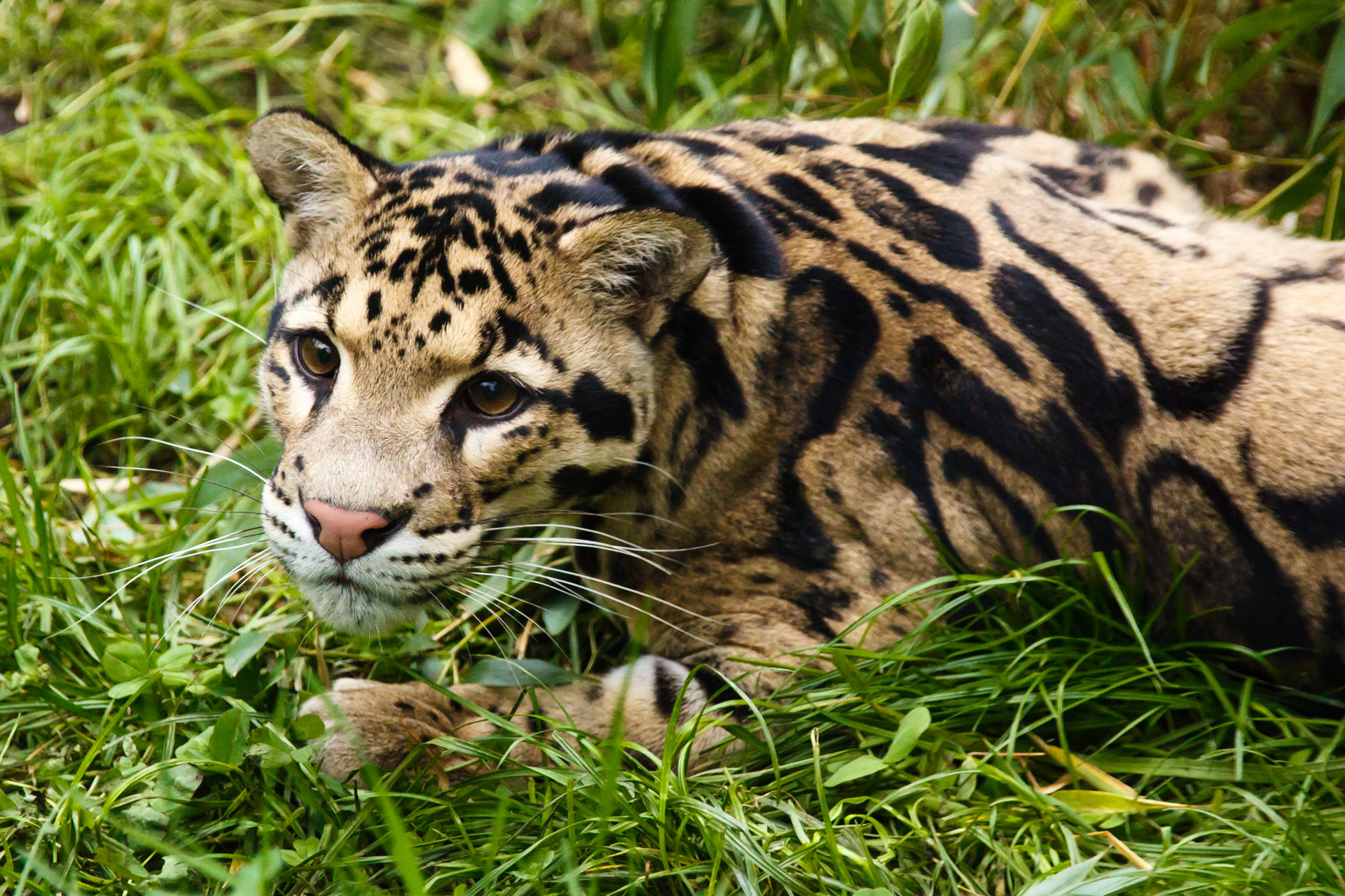 Clouded Leopard  clipart #14, Download drawings