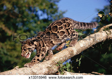Clouded Leopard  clipart #5, Download drawings
