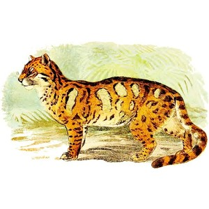 Clouded Leopard  clipart #12, Download drawings