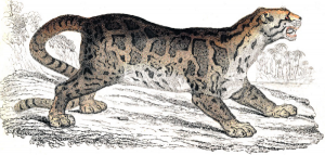 Clouded Leopard  clipart #3, Download drawings