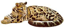 Clouded Leopard  clipart #18, Download drawings