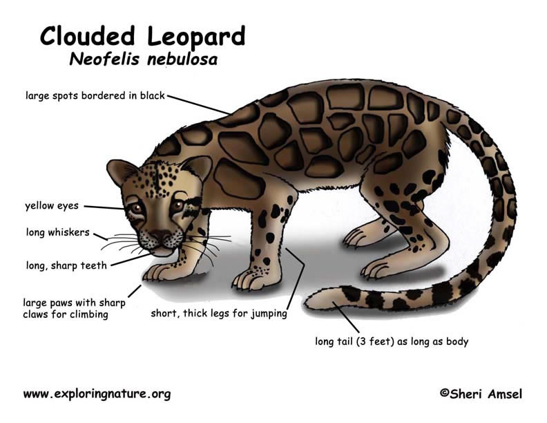Clouded Leopard  coloring #2, Download drawings