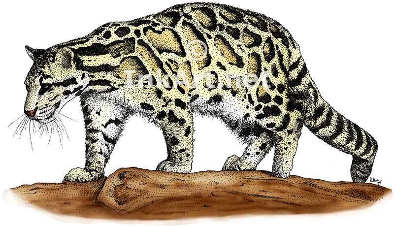 Clouded Leopard  coloring #19, Download drawings