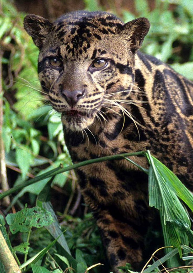 Clouded Leopard  svg #2, Download drawings