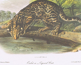 Clouded Leopard  svg #12, Download drawings