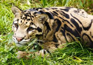 Clouded Leopard  svg #3, Download drawings