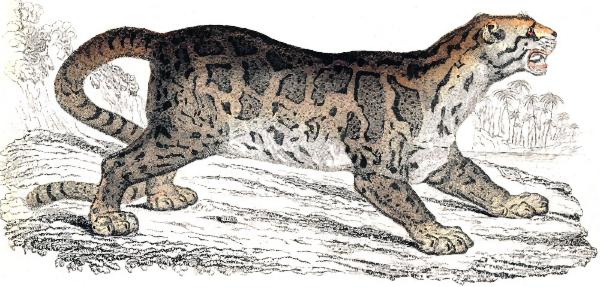 Clouded Leopard  svg #16, Download drawings