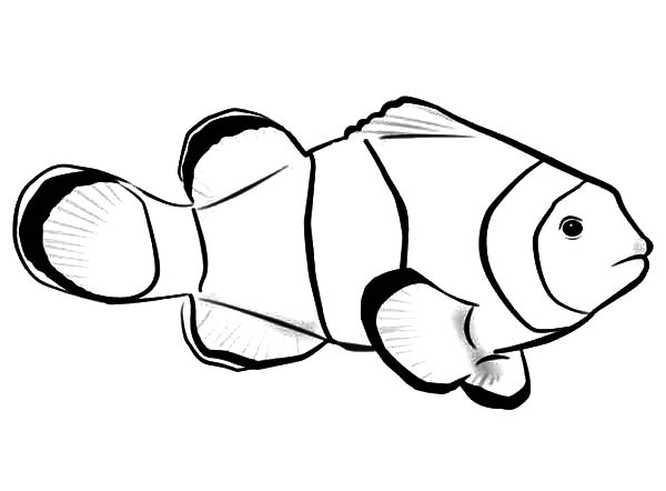 Clownfish coloring #8, Download drawings