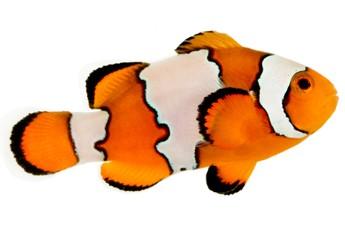 Clownfish svg #20, Download drawings