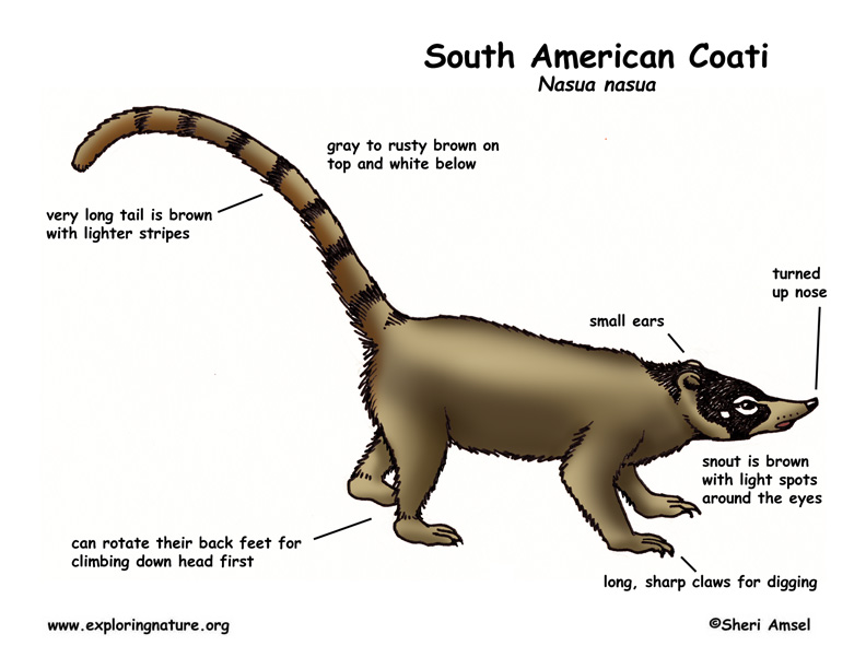Coati coloring #12, Download drawings