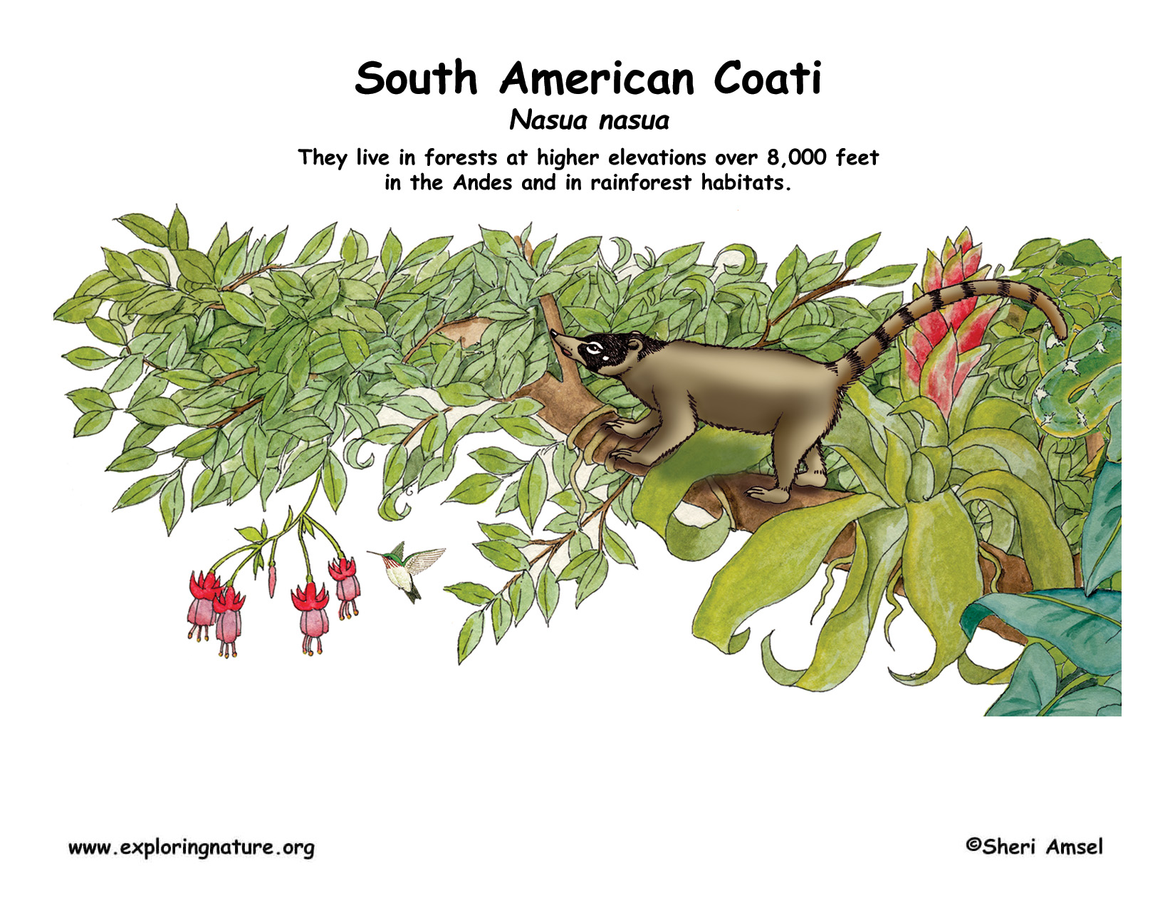 Coati coloring #7, Download drawings